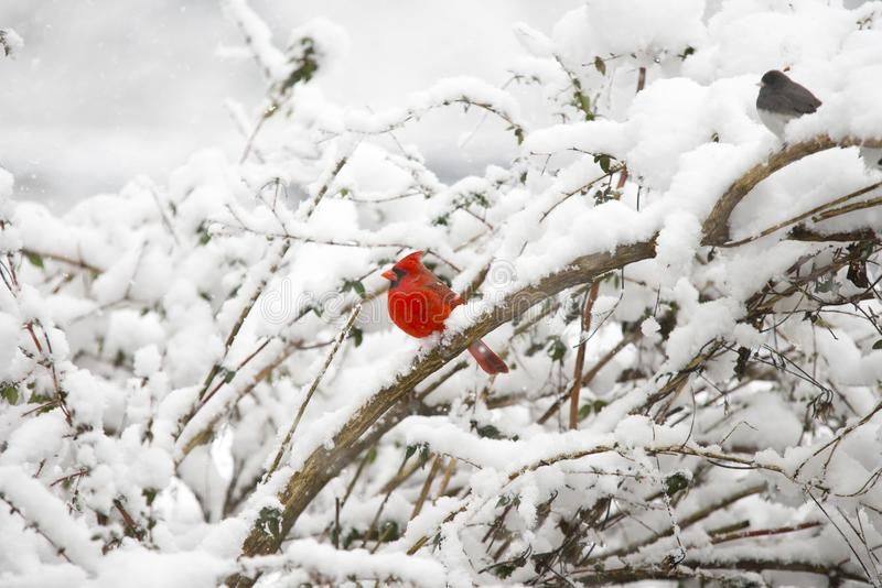 Фото кардинала в снеге покрыло дерево стоковые фото
