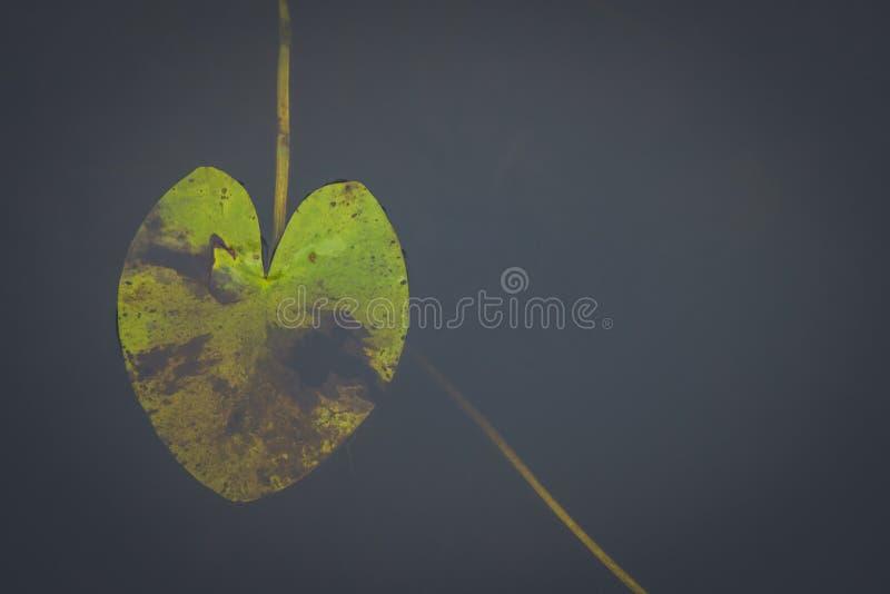 Фото картины плавать пусковой площадки лилии стоковые фотографии rf