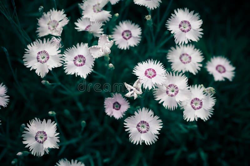 Фото контекста предпосылки полевого цветка Cav bipinnata космоса стоковые фотографии rf