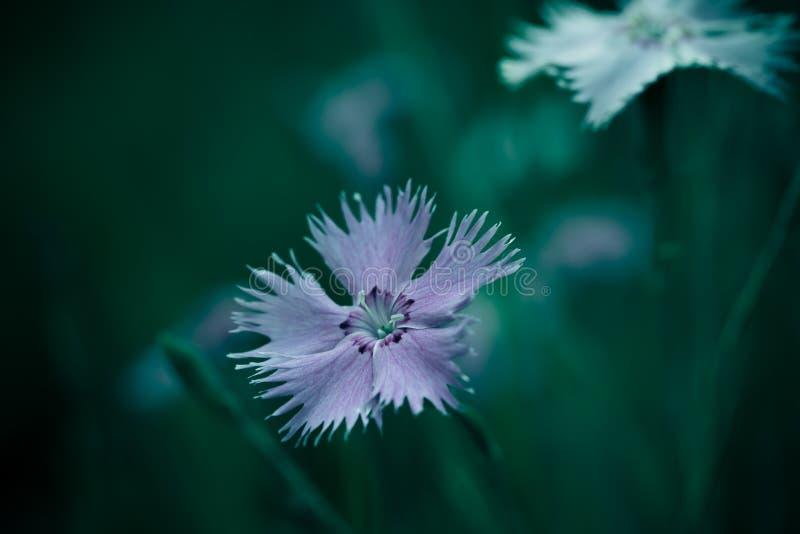 Фото контекста предпосылки полевого цветка Cav bipinnata космоса стоковое изображение