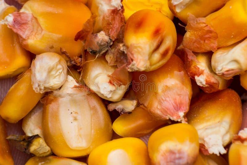 Фото конца-вверх сухой мозоли зерна стоковые изображения