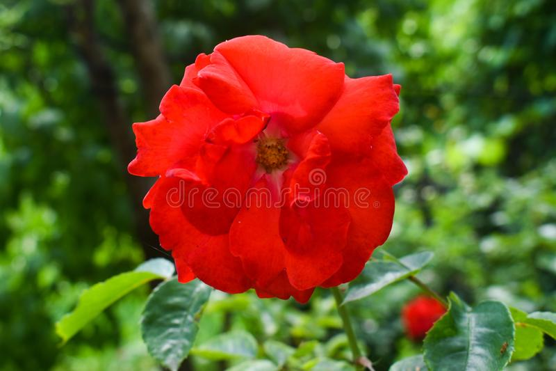 Фото конца-вверх яркой красной розы в саде Члены лилии чего истинные лилии род herbaceous цвести стоковые фото