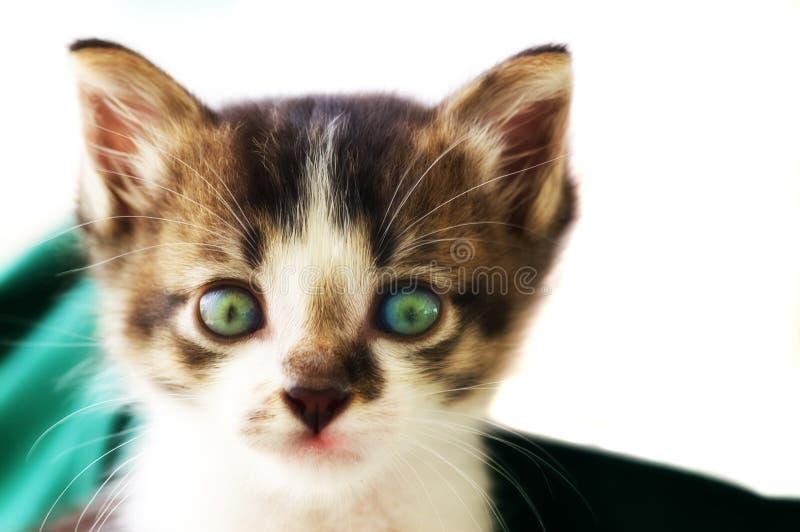 фото кота вытаращась прямо стоковые фотографии rf