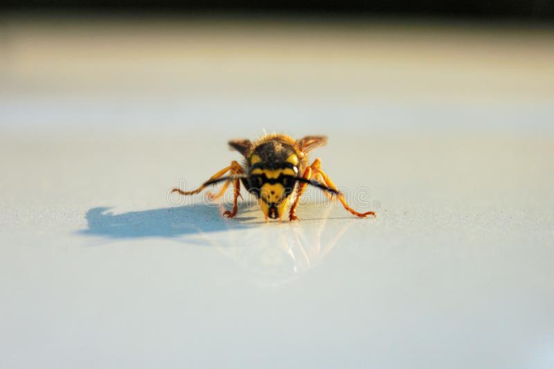 фото которое портретирует осу насекомое стоковые изображения