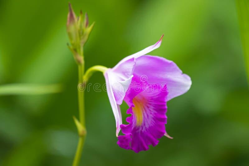 Фото крупного плана бамбукового цветка орхидеи в белом пинке с запачканной зеленой предпосылкой стоковая фотография