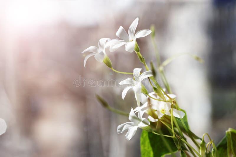 Фото крупного плана белой весны цветет - acetosella Oxalis в стоковая фотография rf
