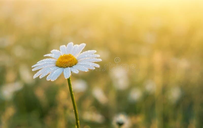 Фото крупного плана цветка стоцвета стоковые фотографии rf