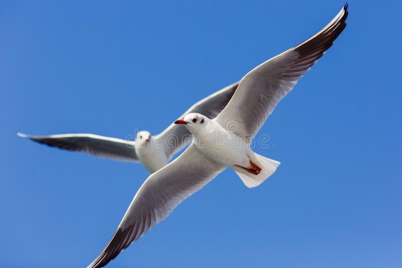 Фото летания 2 чайок стоковое фото rf