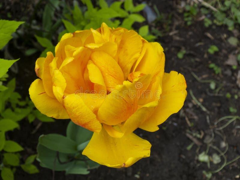 Фото макроса бутона тюльпана Зацветая тюльпан с fluffed лепестками на предпосылке травы и заводов стоковое изображение