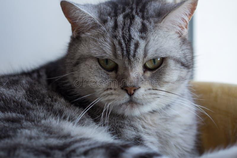 Фото макроса великобританского кота Желтые глаза и серые шерсти стоковые изображения
