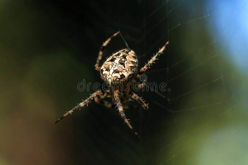 Фото макроса конца-вверх паука Паук соткет сеть паука Конец-вверх Araneus сидит на паутине Фото diadematus Araneus стоковая фотография rf