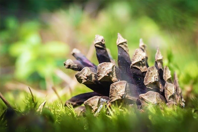 Фото макроса красивого конуса сосны в древесинах стоковая фотография