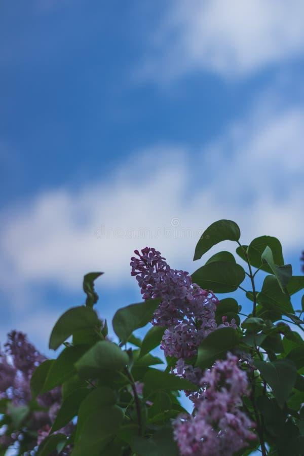 Фото макроса сирени против голубого и ясного неба Цветки весны деревьев стоковое изображение