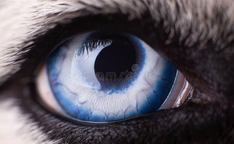 Фото макроса собаки голубого глаза сибирской сиплой Закройте вверх по голубому глазу стоковые изображения