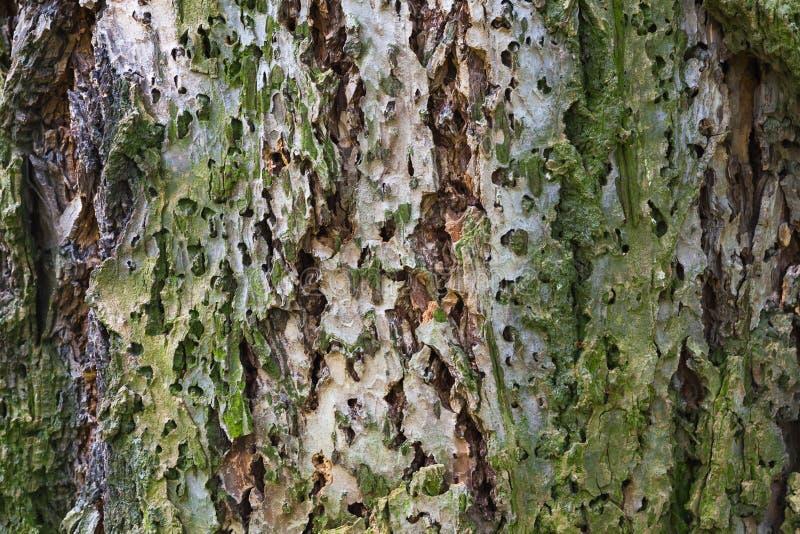 Фото макроса старой коры дерева, естественной предпосылки стоковые фотографии rf
