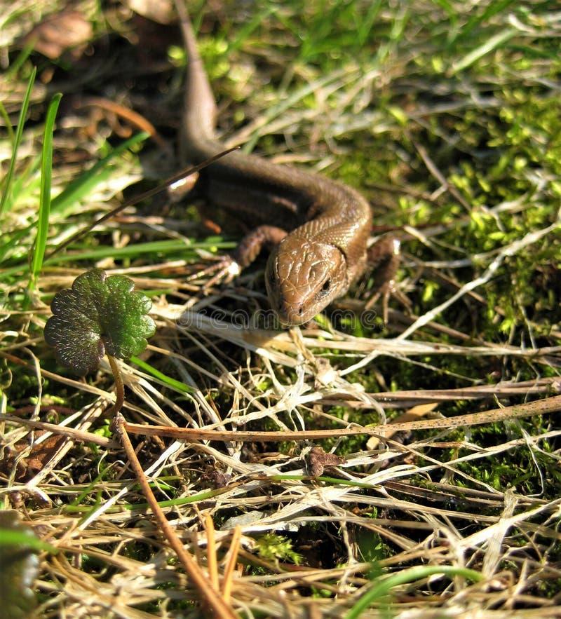 Фото макроса с декоративной животной ящерицей в траве и листьях леса стоковые изображения rf