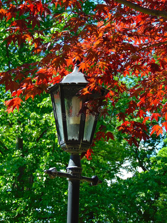Фото макроса с декоративной предпосылкой высекаенного красным цветом дерева клена выходит стоковое фото rf