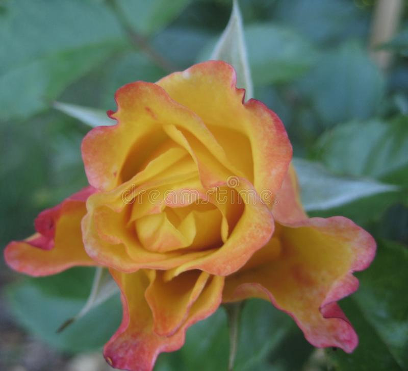 Фото макроса с декоративной текстурой предпосылки красивого цветка Буша сортировало желтые розы лепестков стоковые изображения