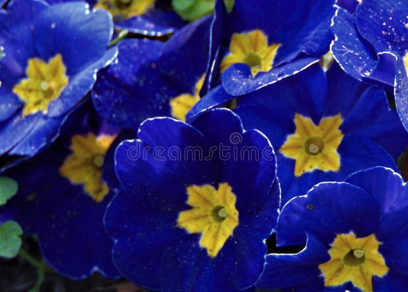 Фото макроса с цветком декоративного сада текстуры предпосылки низкорастущим с яркими голубыми лепестками первоцвета стоковая фотография