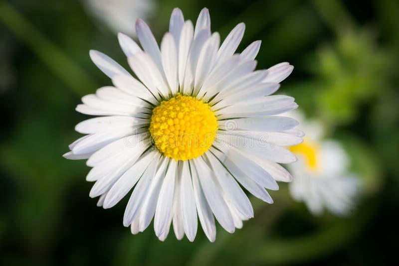 Фото макроса цветка маргаритки стоковая фотография