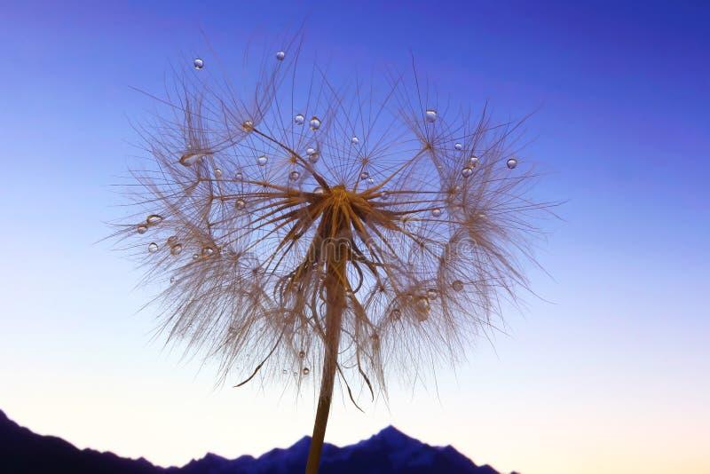 Фото макроса цветка одуванчика с падениями воды против фона рассвета в гористом ландшафте стоковые изображения rf