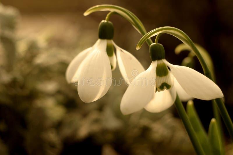 Фото макроса Snowdrops предвестники весны стоковое изображение rf
