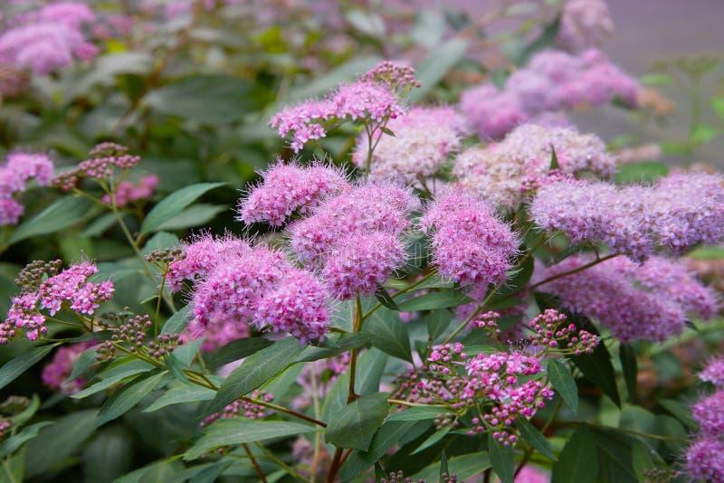Фото макроса Spiraea куста природы цветя Обои кустарника Spirea стоковое фото rf