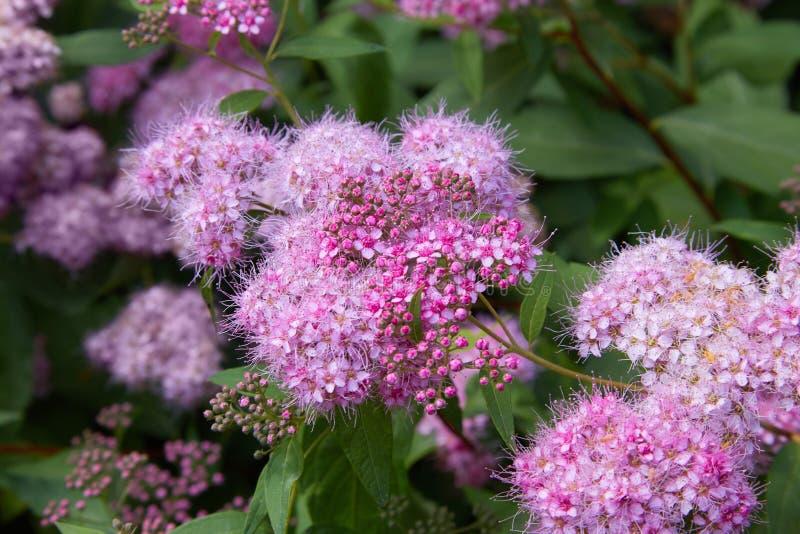 Фото макроса Spiraea куста природы цветя Обои кустарника Spirea стоковое изображение rf