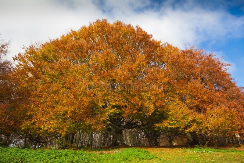 Фото монументального дерева бука стоковое изображение rf