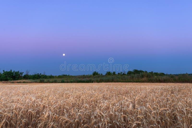 Фото ночи пшеничного поля стоковое изображение
