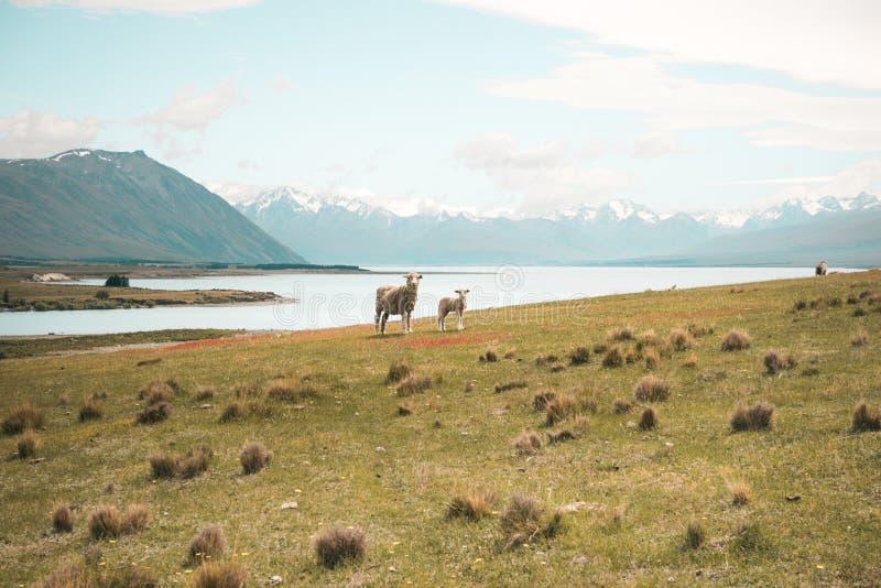 Фото одичалых овец на зеленой траве с рекой в горах стоковая фотография rf