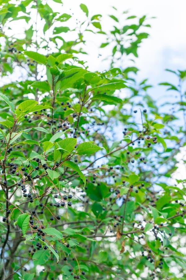 Фото плодоовощ черного elderberry Ягода для питания и медицины стоковые фотографии rf