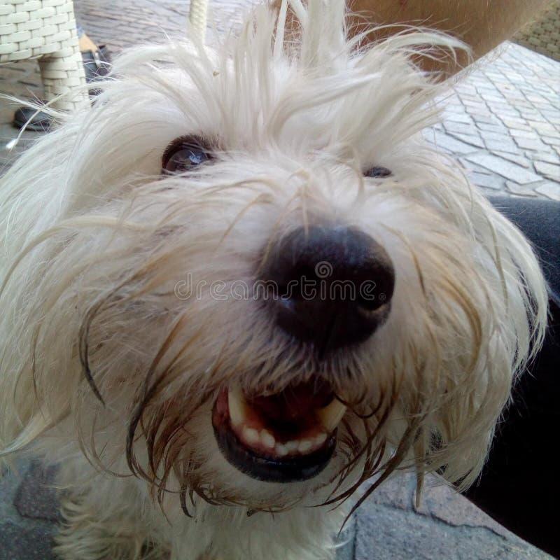фото показывая красивую сторону Bolognese собаки стоковое изображение rf