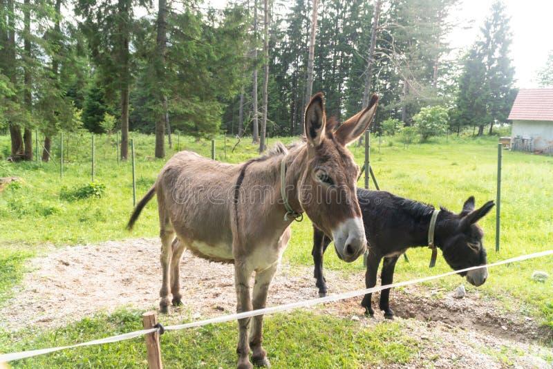 Фото портрета 2 ослов смотря в камере на ферме стоковое изображение