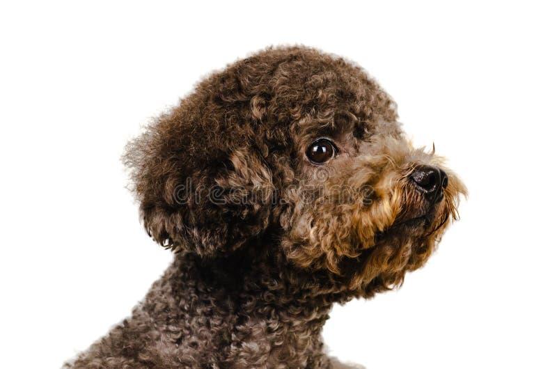 Фото портрета прелестной черной собаки пуделя игрушки на белой предпосылке стоковое фото rf
