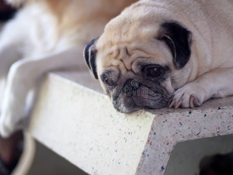 Фото портретов прекрасной белой жирной милой собаки МОПСА с другом собаки стоковые изображения rf