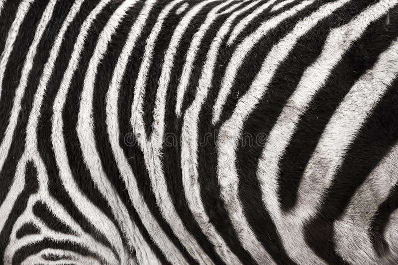 Фото предпосылки текстуры меха кожи зебры стоковое изображение