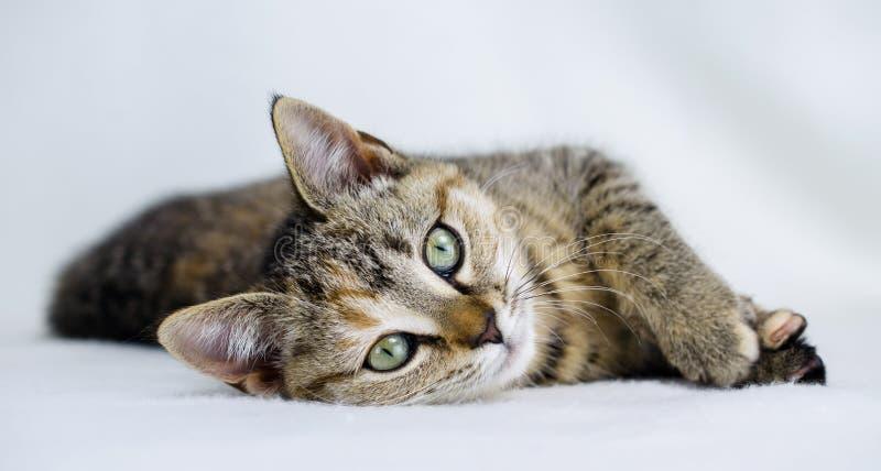 Фото принятия котенка ситца Tabby, управление животного Walton County стоковая фотография rf