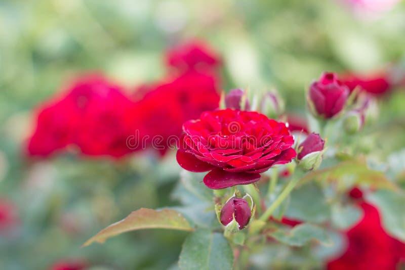 Фото сада цветет розы стоковые изображения rf