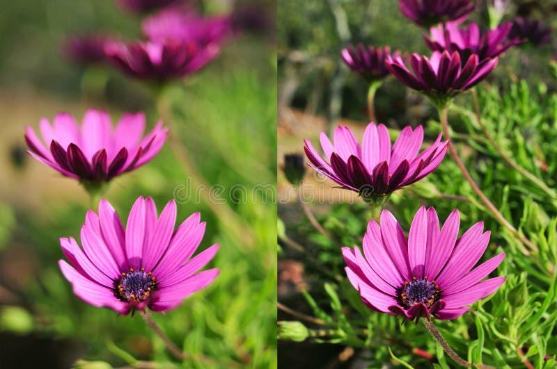 Фото фиолетовых цветков сняли с различными апертурами стоковое фото rf
