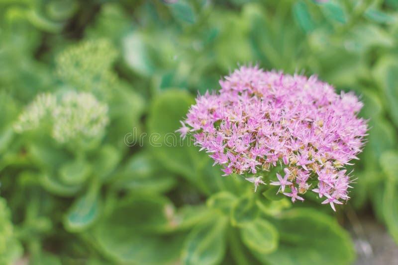 Фото цветка сирени в саде на солнечный день стоковые изображения rf