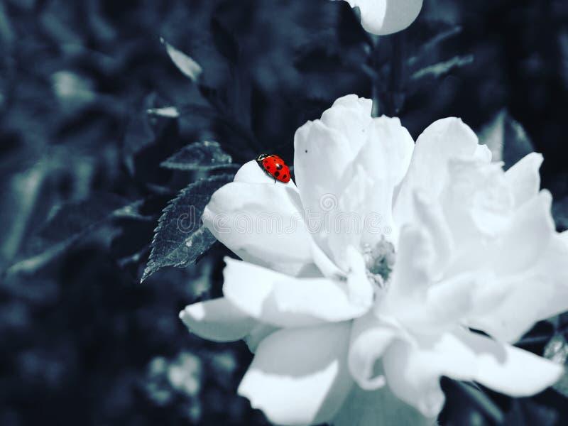 фото цветка ladybug стоковое изображение rf