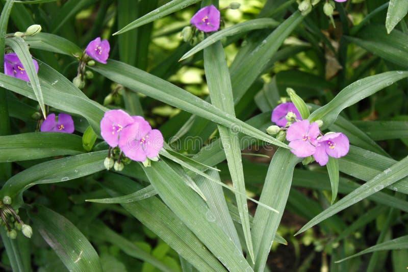 Фото цветков сирени в листьях Предпосылка для поздравительной открытки с пурпурными небольшими цветками Флористическая темнота пр стоковое изображение