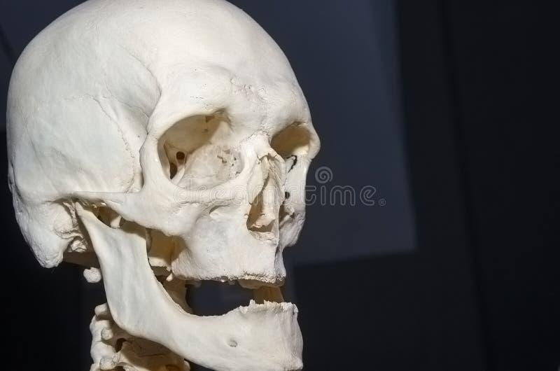 Фото человеческого черепа стоковые изображения rf