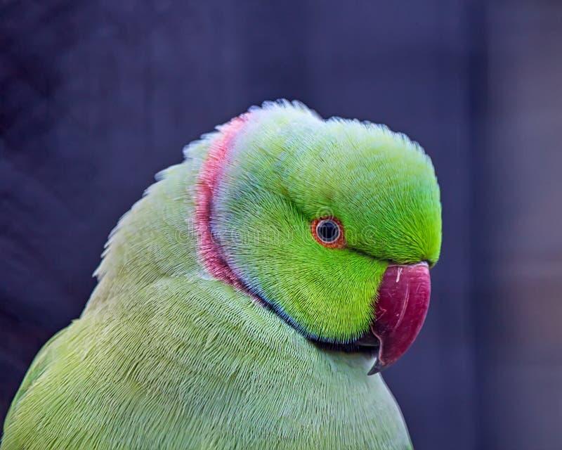Фото eupatria aka большего Александр ожерелового попугая, типичной птицы Азии стоковое фото