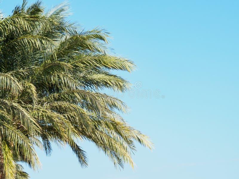 Фрагменты зелёной ладони на фоне ясного голубого неба, вид закроется Египет в феврале Выборочная мягкая фокус стоковая фотография rf