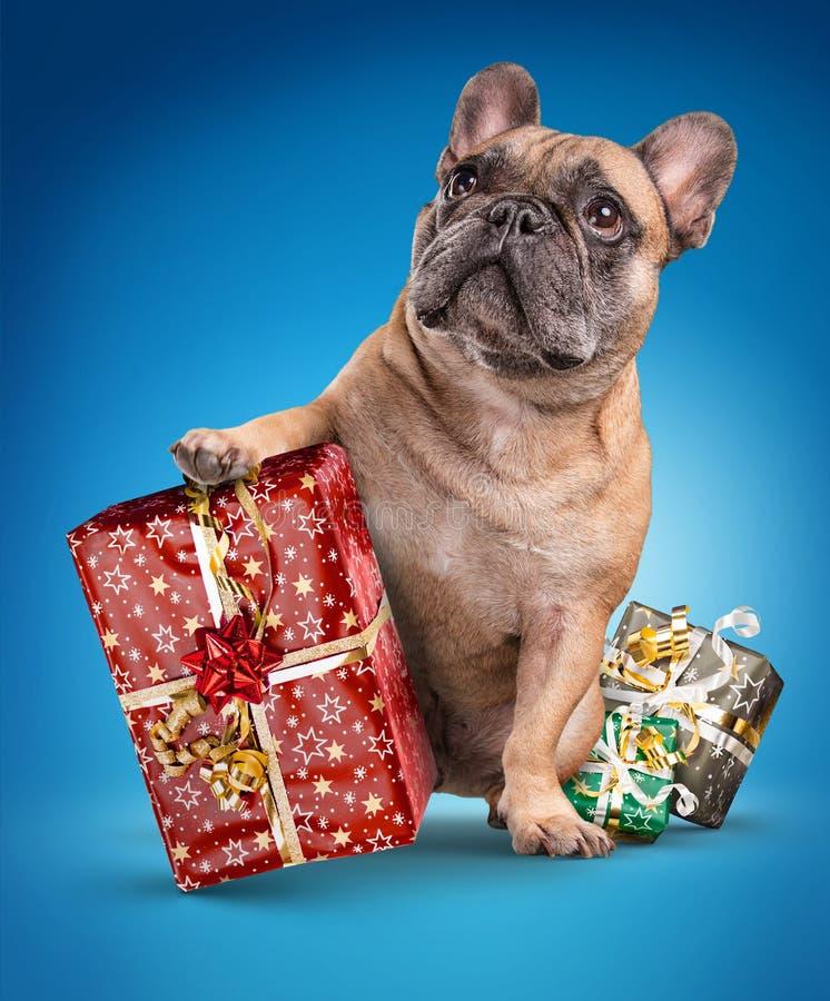 Французские бульдоги с подарками рождества стоковое изображение