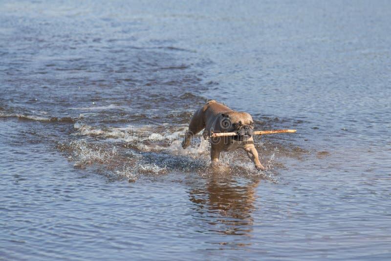 Французский бульдог бежать через воду с деревянной ручкой стоковые фото