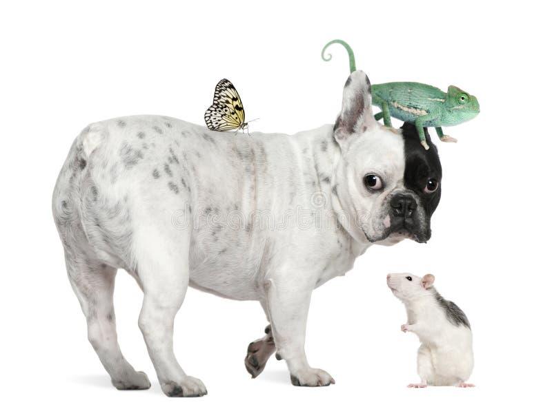 Французский бульдог с хамелеоном, крысой и бабочкой стоковые фотографии rf