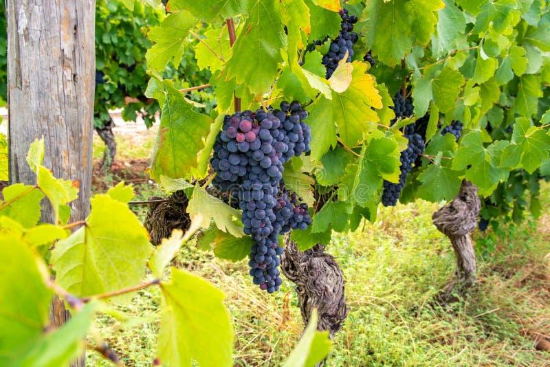 Французский красный цвет и завод виноградин розового вина, первый новый сбор виноградины вина в домен или замок AOP Франции, Cost стоковые изображения